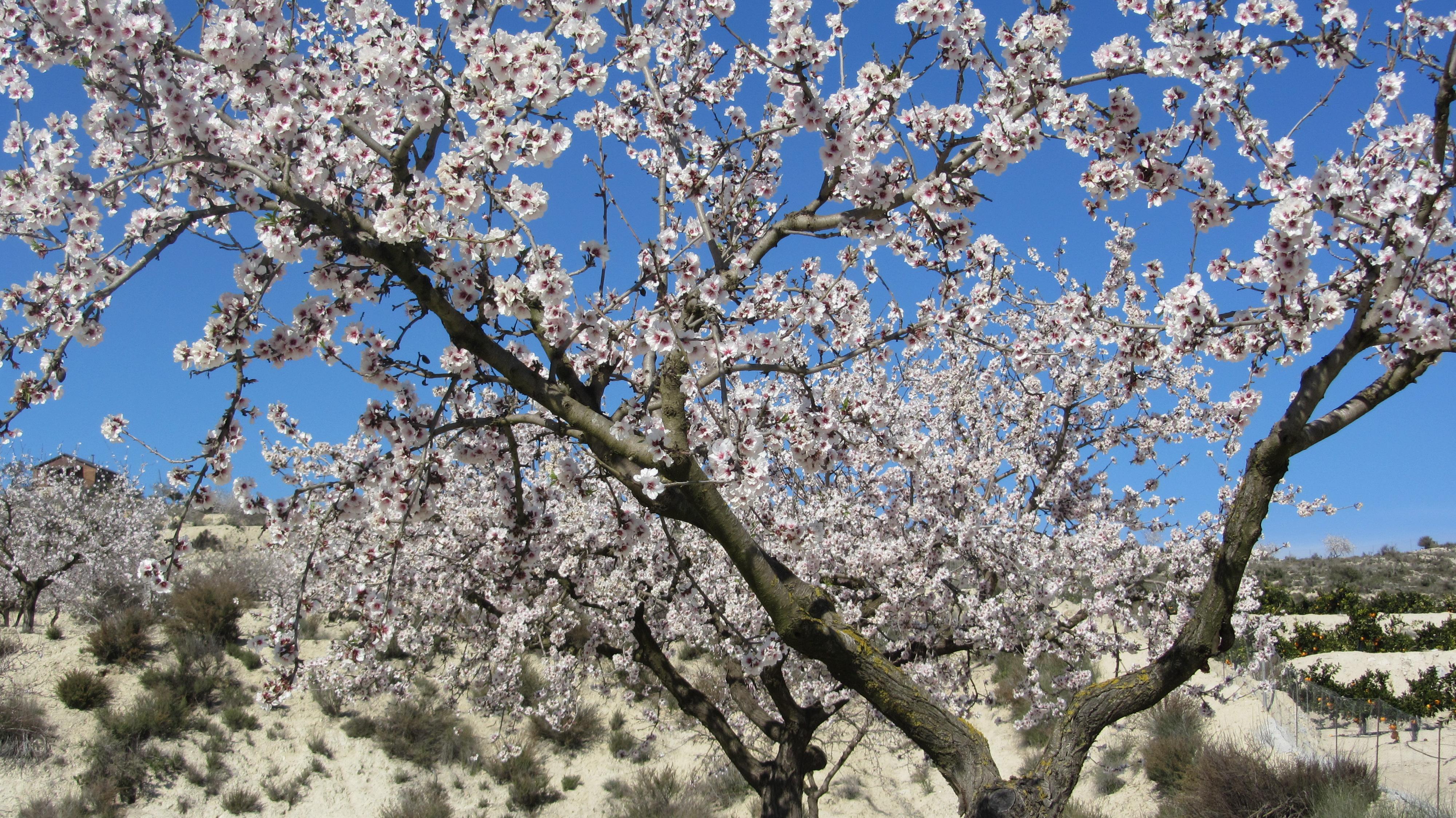 Almond Tree Flowering Best Of Costa Blanca Gt Torrevieja
